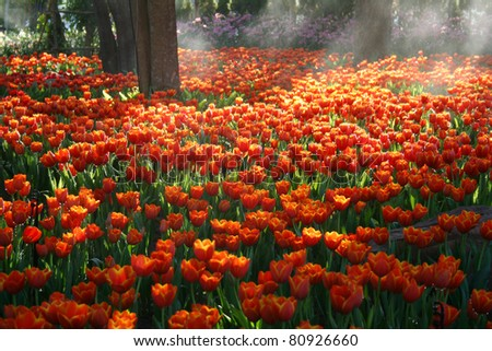 Beautiful orange Tulip field