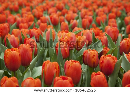 Beautiful Orange Tulips field in spring time.
