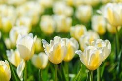 beautiful orange tulips. spring flowers bloom outdoors