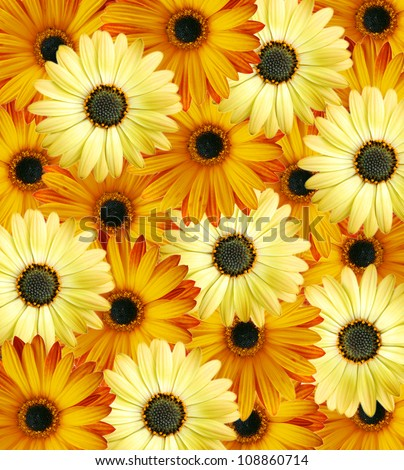 Beautiful orange-yellow floral background made from wild daisy flowers
