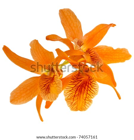 beautiful orchid close up  isolated on white background
