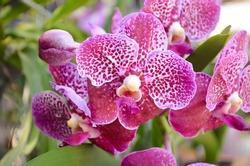 Beautiful orchid flower and green leaves background in the garden .Orchids close up
