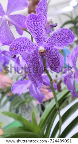Beautiful orchid flower and green leaves background in the garden .Orchids close up, Aranda Obama.