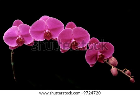 beautiful orchid flower black background blossom bright colorful - stock photo