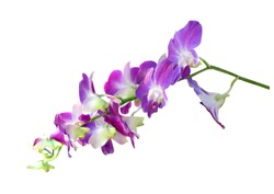 Beautiful orchid flower with isolated on white background. There are purple and white.