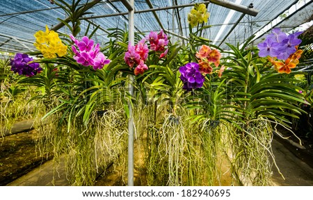 Beautiful orchid flowers in orchid farm Chaing Mai,Thailand.