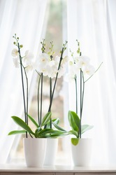 Beautiful orchid in white vase on windowsill decorates clean room