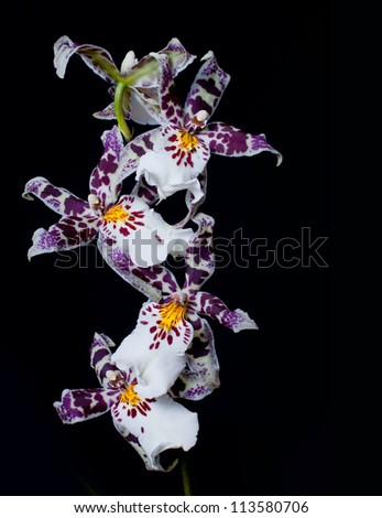 beautiful orchid on a black background