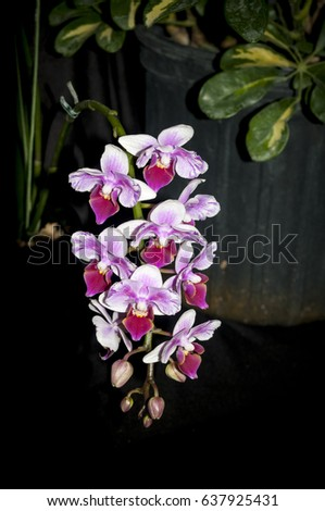 Beautiful Orchid Show Flower in bloom  Stock photo ©
