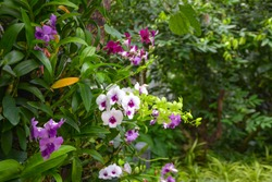 Beautiful orchids in a tropical garden,Close up.Purple Orchids Vanda in the orchids Farm,Bright colored wild orchid as floral background,Wild lady slipper orchids in a bog of the cypripedioidea family