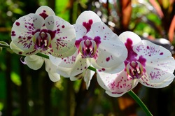 Beautiful orchids in a tropical garden in Hilo Hawaii