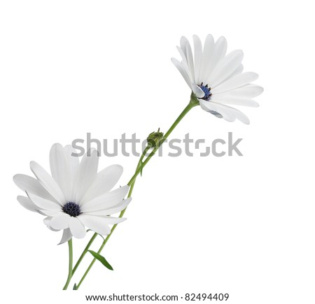 Beautiful Osteospermum Asti White Daisy with purple center isolated on White background. Top view