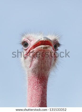 Beautiful Ostrich staring at camera