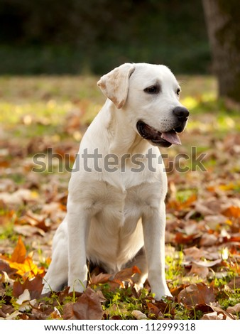 Beautiful outdoor portrait of a labrador retriever