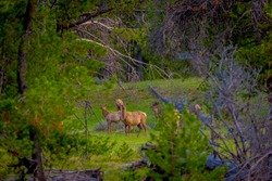 Beautiful outdoor view of white-tailed family deer Yellowstone National Park