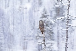 Beautiful owl, Great Grey Owl, Strix nebulosa, sitting on a tree in wintry taiga forest overlooking its premises. Finland, Northern Europe