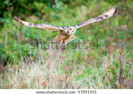 Beautiful owl photographed while flying, surrounded by warm autumn scenery.