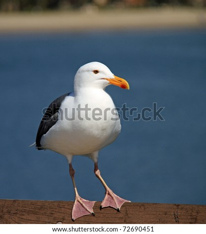 Beautiful Pacific Sea Gull in Santa Barbara, California
