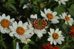 Beautiful painted lady butterfly in white dahlia flowerbed. Genus vanessa cardui in the family Nymphalidae. Concept of fragility, freedom, beauty, transformation. Photograph background. White petals.