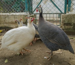 Beautiful pair of guinea fowl bird and chicks in the background. Domestic bird farming. Romantic birds or love birds.