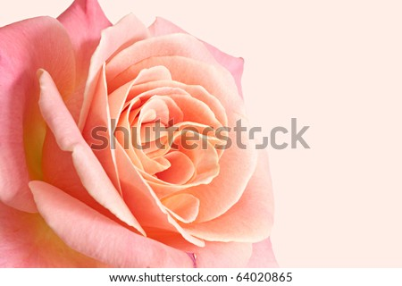 Beautiful pale pink rose on a pink background.
