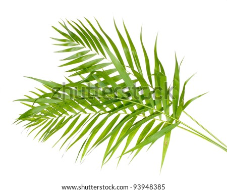 Beautiful palm leaves isolated on white