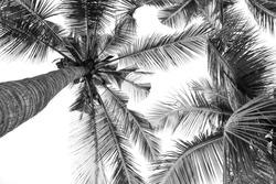 beautiful palm tree - monochrome