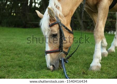 Beautiful palomino horse grazing on green pasture #1540416434