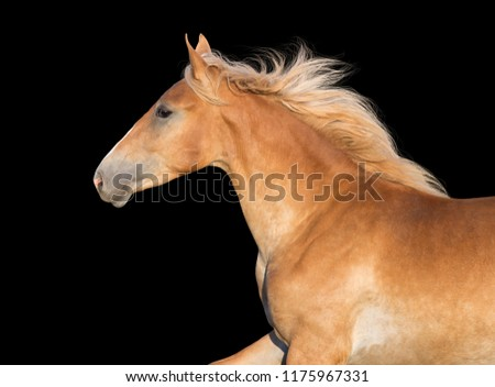 Beautiful palomino  horse portrait on black background in motion #1175967331