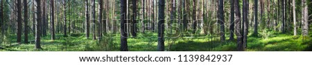 Beautiful panorama of the forest in summer. Pine forest. Lots of trees. Sunny day. Rural place. Wild vegetation #1139842937
