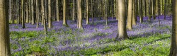Beautiful panoramic landscape with purple flower carpet of wild bluebells in the forest of Belgium.