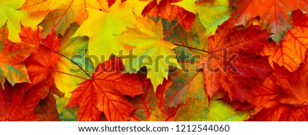 Beautiful Panoramic Nature autumn Background. Colorful texture with fallen maple leaves. Group multicolored maple leaves. Top view, flat lay. Wide Angle Wallpaper, billboard or Web banner