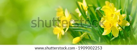 Beautiful Panoramic Spring Nature background with Daffodil Flowers, selective focus. Yellow Daffodils Flowers closeup on green background. Wide Angle Scenic floral header for website or Web banner