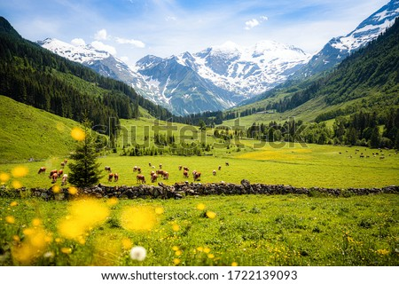 Beautiful panoramic view of rural alpine landscape with cows grazing in fresh green meadows neath snowcapped mountain tops on a sunny day in spring, National Park Hohe Tauern, Salzburger Land, Austria Сток-фото ©