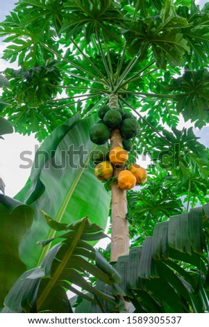 Beautiful papaya tree. Some greens and some ripe ready to be harvested.