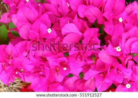 Beautiful paper flower or bougainvillea flower thailand ez canvas beautiful paper flower or bougainvillea flower thailand mightylinksfo