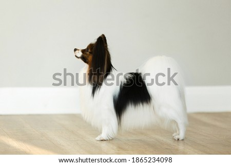 beautiful papillon dog is standing on a grey wall background in studio. Toy continental spaniel is stacking Photo stock ©