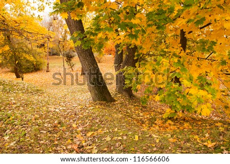 Beautiful park landscape with maple trees and golden foliage