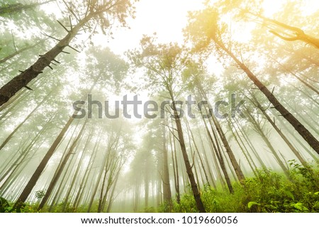 Beautiful Park With Big Pine Trees, lofty tree on mountain through pine forest and sunshine. Autumn, Fog, vintage tone, Season, toned image, nature background, selective focus