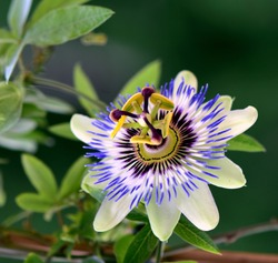 Beautiful passion flower in a garden