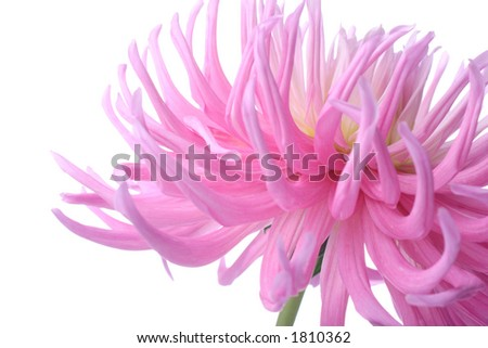 beautiful pastel pink dahlia flower - stock photo