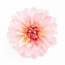 Beautiful pattern of pink flowers dahlias and roses buds isolated on white background. Flat lay, top view.