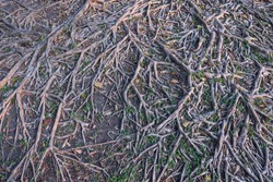 beautiful pattern with roots of tree in nature park