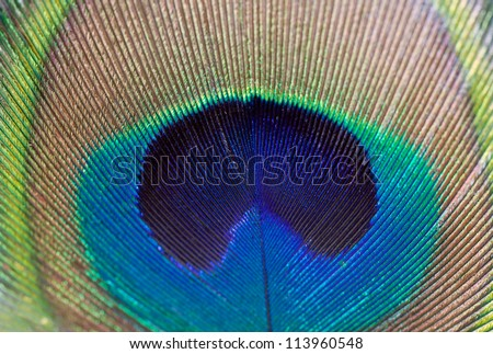 Beautiful peacock feather