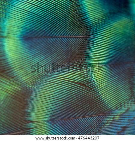 Beautiful peacock feather - Shutterstock ID 476443207