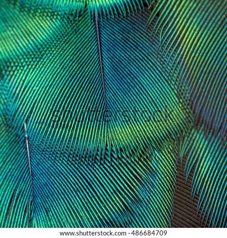Beautiful peacock feather - Shutterstock ID 486684709
