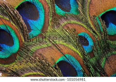 Beautiful peacock feather background, close up