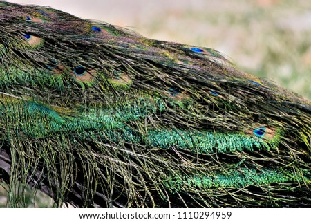 beautiful peacock feathers #1110294959