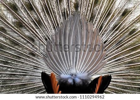 beautiful peacock feathers #1110294962