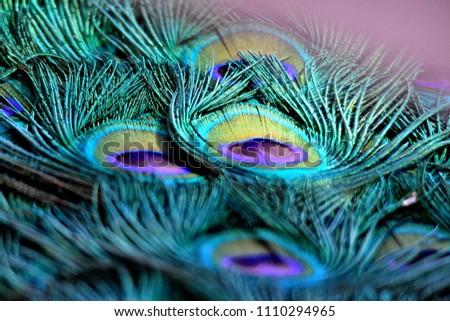 beautiful peacock feathers #1110294965